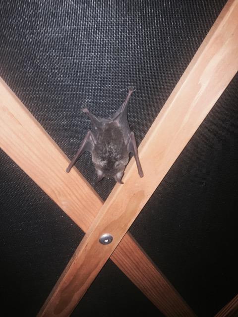 Fairy Bat