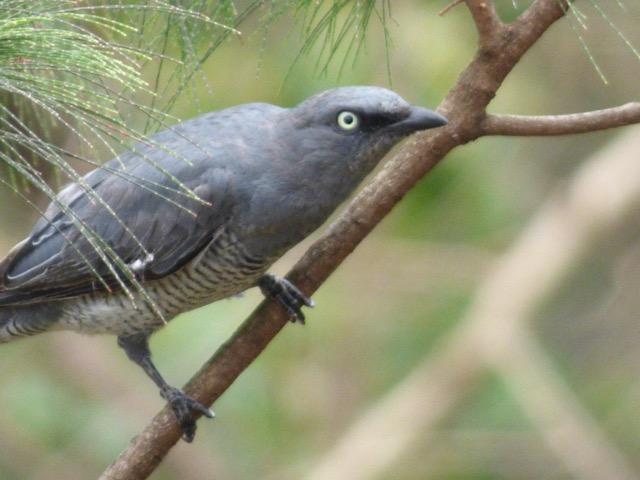 Barred Cuckoo-shrike