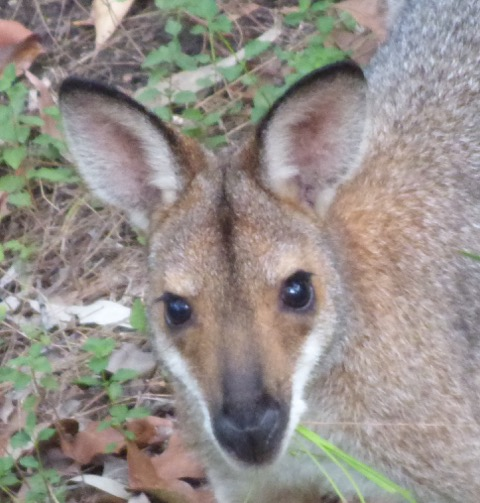 Whiptail Wallaby (or Pretty-faced)